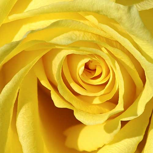 "<a href=""/node/458"">YELLOW ROSE</a>"
