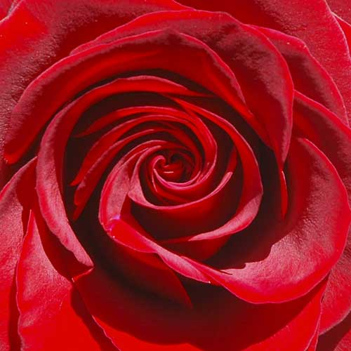 "<a href=""/node/460"">RED ROSE</a>"